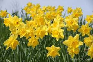 http://rafordinn.com/mustard-daffodils-and-spring-flowers-have-arrived/